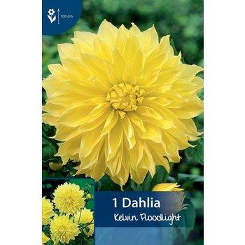 Dahlia Kelvin's Floodlight