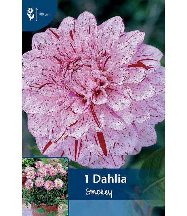 Dahlia Smokey