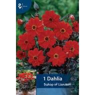 Dahlia Bishop of Llandaff