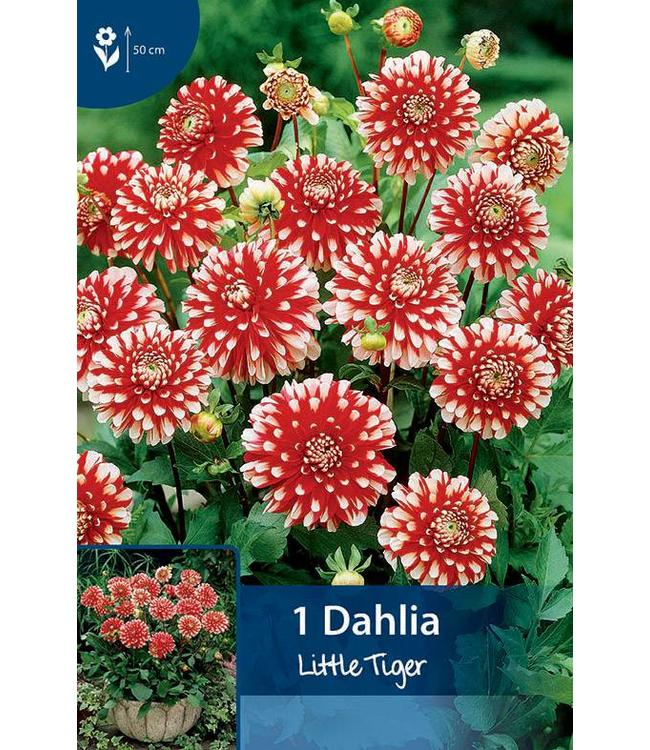 Dahlia Little Tiger
