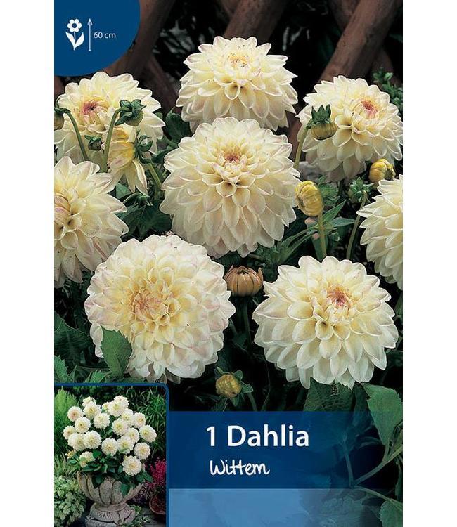 Dahlia Wittem