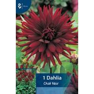 Dahlia Chat Noir