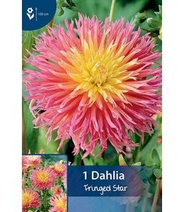 Dahlia Fringed Star