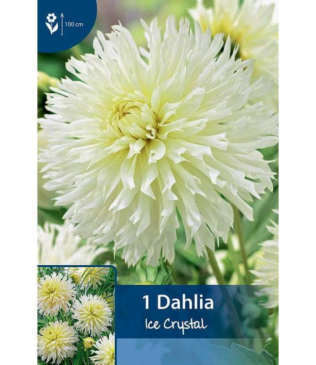 Dahlia Ice Crystal