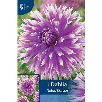 Dahlia Table Dancer
