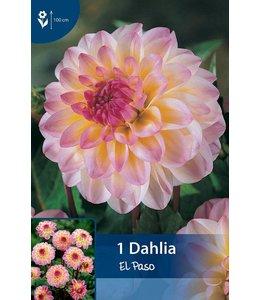 Dahlia El Paso