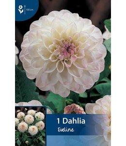 Dahlia Eveline