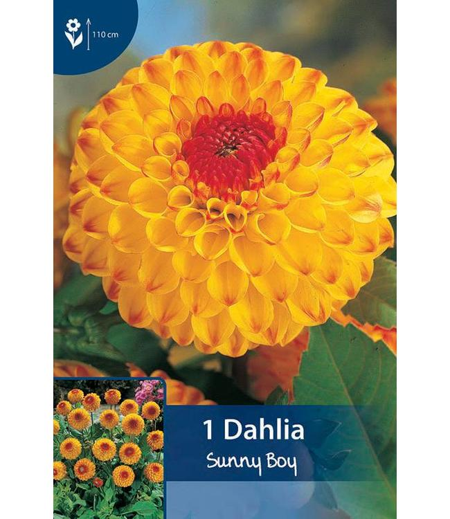 Dahlia Sunny Boy