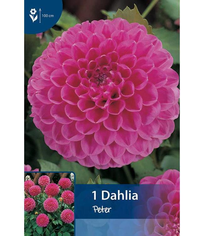 Dahlia Peter