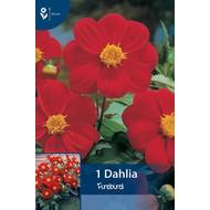 Dahlia Firebird