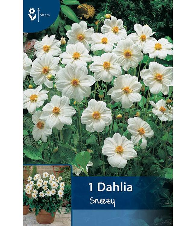 Dahlia Sneezy
