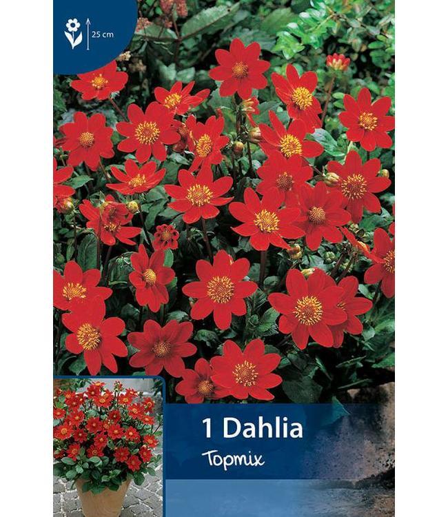 Dahlia Topmix Rot