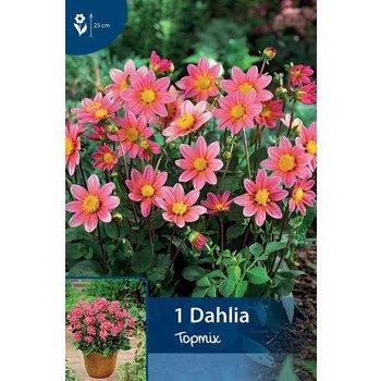 Dahlia Topmix Rosa