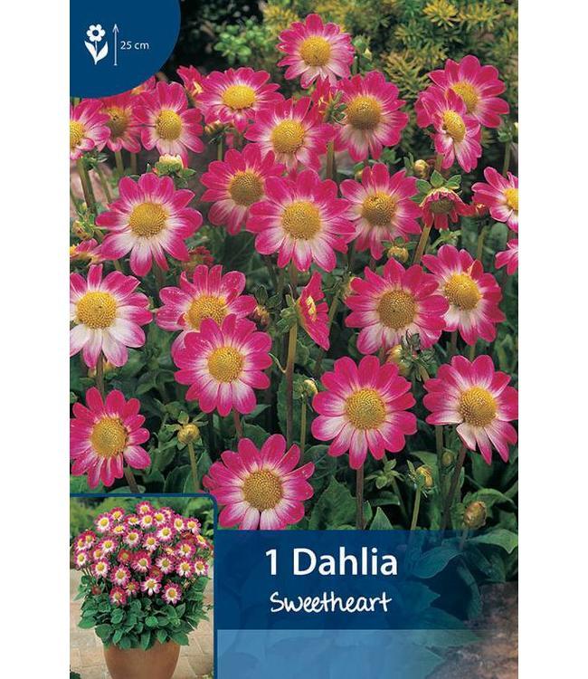 Dahlia Topmix Sweetheart