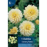 Dahlia Canary Fubuki