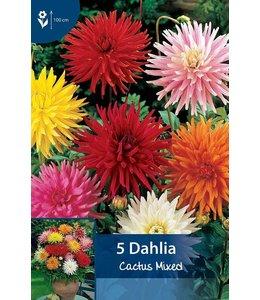 Dahlia Cactus Mixed