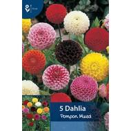 Dahlia Pompon Gemengd