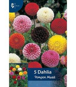 Dahlia Pompon Mixed
