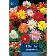 Dahlia Border Gemengd