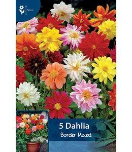 Dahlia Border Mixed