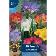 Freesia Singe Mixed