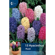Hyazinthen Mischung