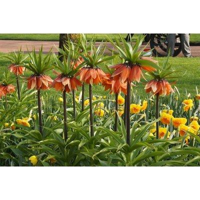 Fritillarias