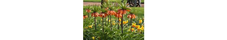 Fritillaria's