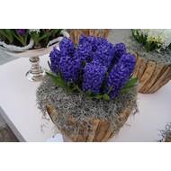 Hyacinten (voor in huis)