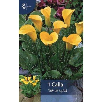 Calla Pot of Gold (Zantedeschia)