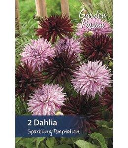 Dahlia Sparkling Temptation