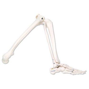 Been skelet A35