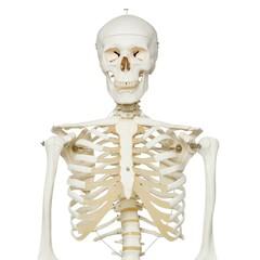 Skelet A10