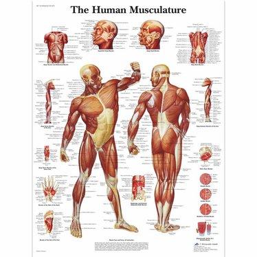 Poster anatomie muscular system - Disporta Eerstelijn B.V.
