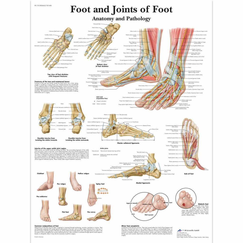 3B Scientific Poster Foot & Ankle - Disporta Eerstelijn B.V.