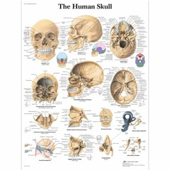 3B Scientific Poster human skull