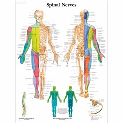 3B Scientific Poster Spinal nerves