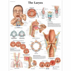 3B Scientific Poster Larynx