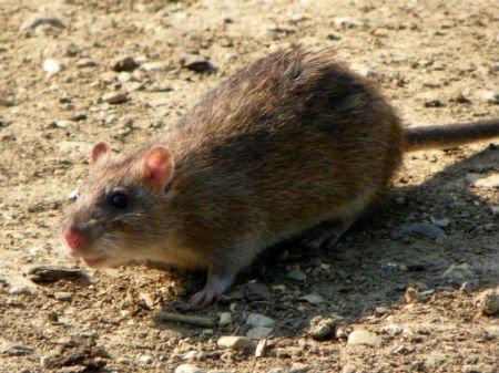 Last van ratten: wat te doen?