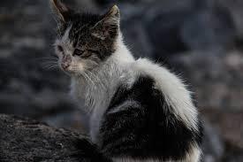 verwilderde kat vangen vangkooi voor katten