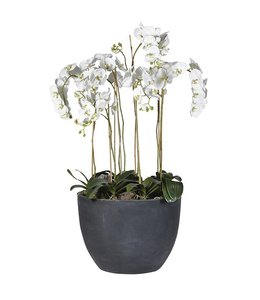 White Orchids in Large Pot Extra Large