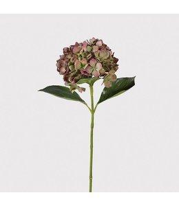 Fig Olive Hydrangea