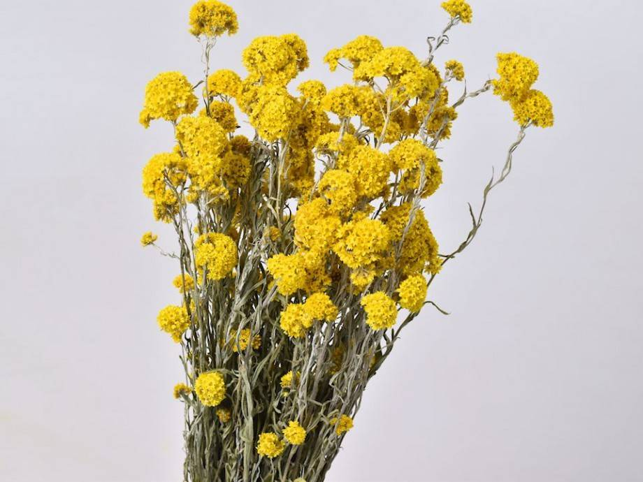 DF sanfordii yellow 50 cm