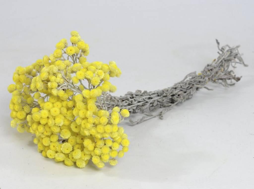 DF helichrysum immortelle yellow