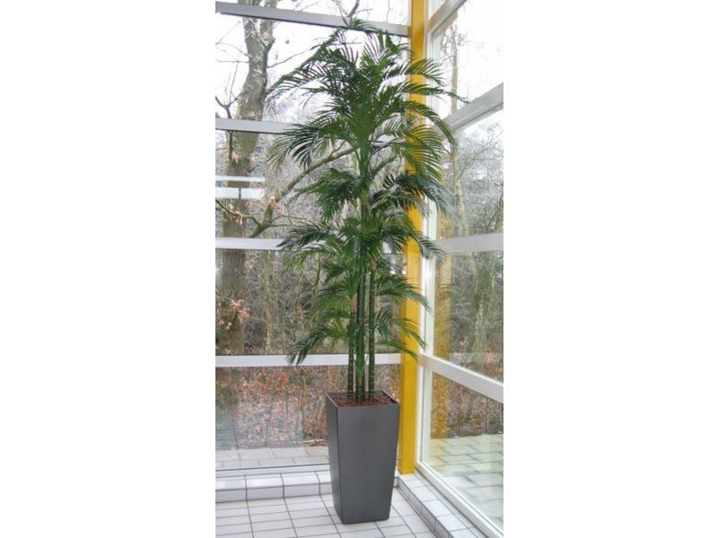 Palmboom Golden Cane- opgepot in kunststof pot   +/- 350cm
