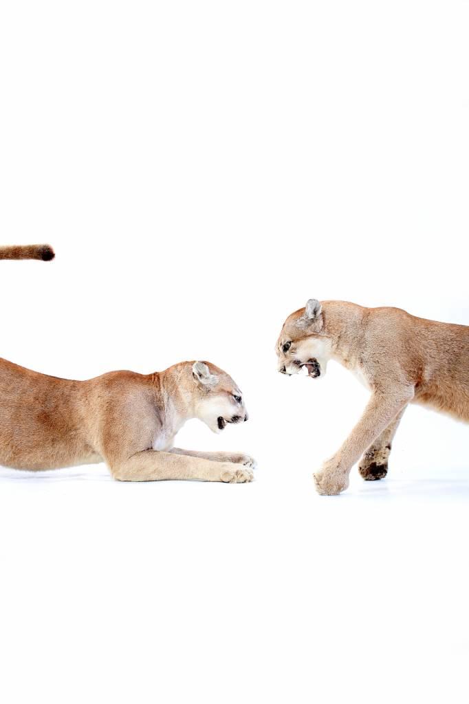 Taxidermy Puma's