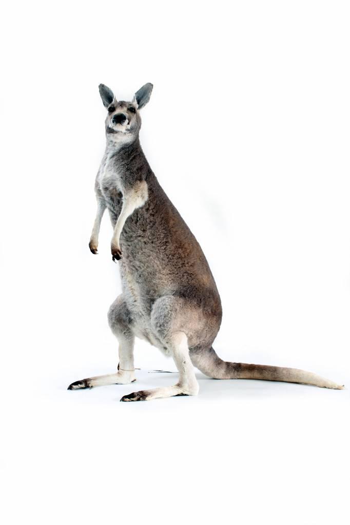 Opgezette kangoeroe taxidermie