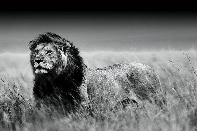 Bedwelming Zwart-wit foto op glas 'leeuw' - yourinterior #BD82