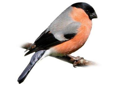 European Birds