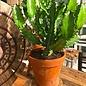 Cactus L